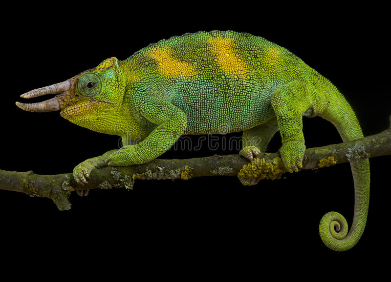 Johnston`s chameleon, Trioceros johnstoni. Is a spectacular lizard species found in the triangle Uganda, Burundi and Rwanda stock photography