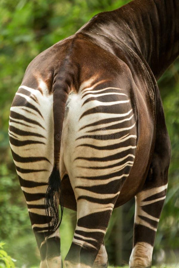 Johnstoni del Okapia del okapí, jirafa del bosque, sptripes en el botón, modelo rayado, Congo, África fotografía de archivo libre de regalías