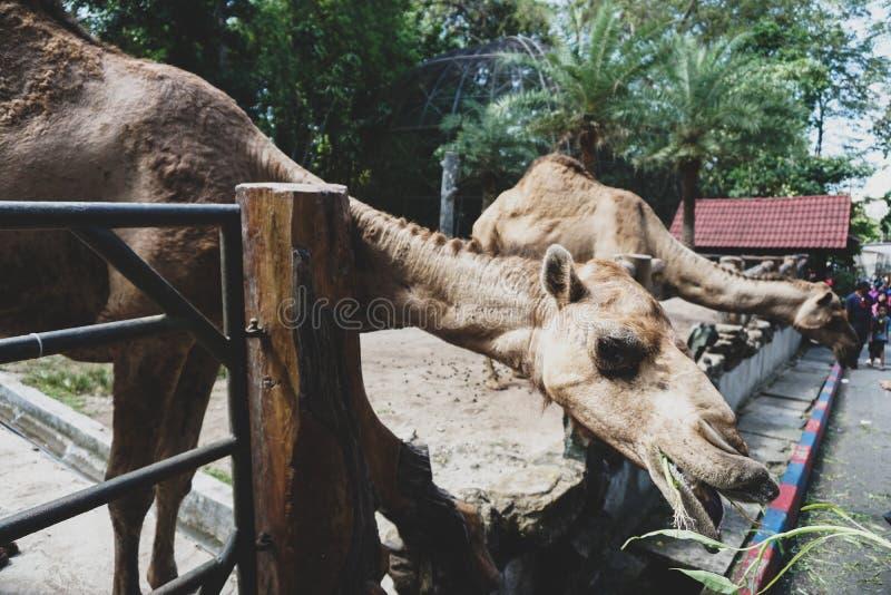 JOHOR, MALÁSIA - EM FEVEREIRO DE 2019: Visitante para tomar sua volta que alimenta os camelos com suas crianças Uma de atividades fotos de stock royalty free