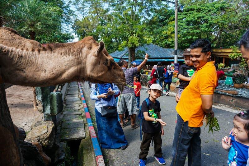 JOHOR, MALEISIË - FEBRUARI 2019: De bezoeker neemt hun draai voedend de kamelen met hun jonge geitjes Één van interactieactivitei royalty-vrije stock foto