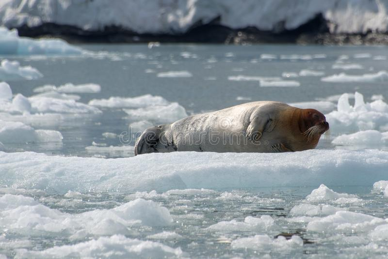 Joint barbu, le Svalbard - Norvège photo stock