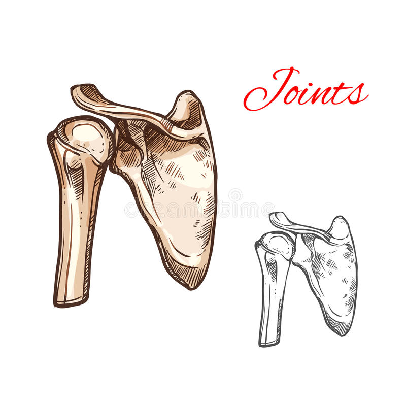 Joint and bone of human shoulder isolated sketch royalty free illustration