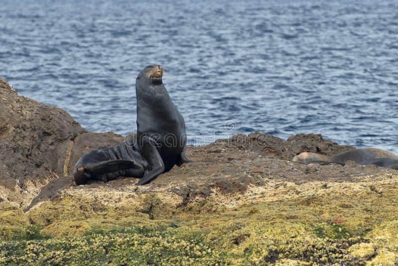Joint californien d'otarie détendant sur une roche photographie stock libre de droits