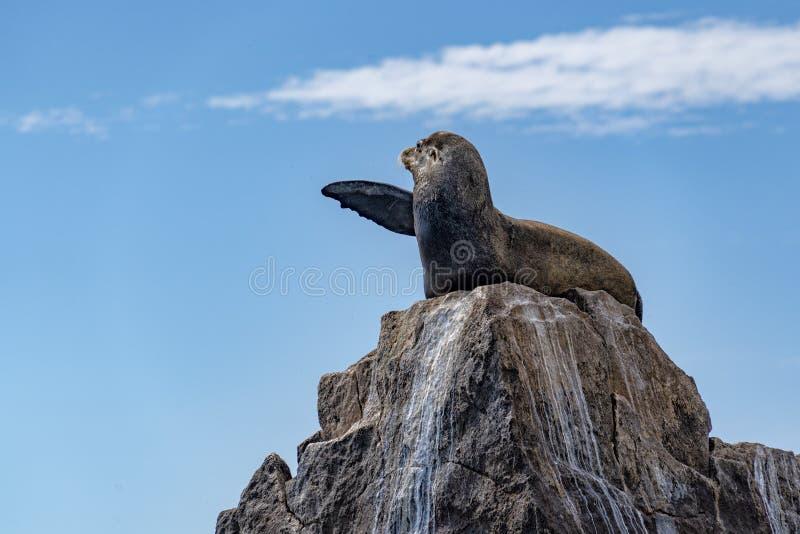 Joint californien d'otarie détendant sur une roche se dirigeant avec l'aileron images stock