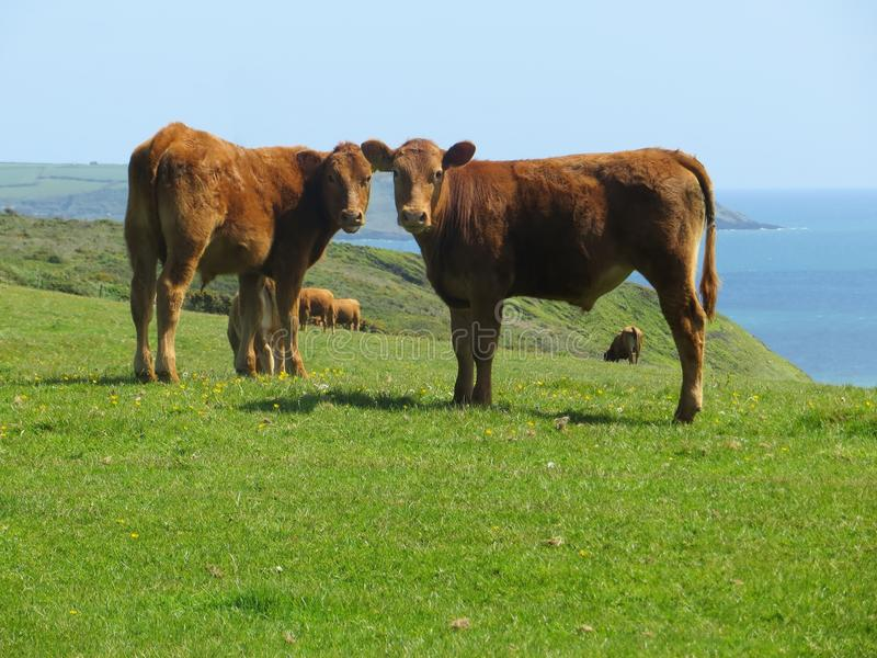 Joint Curiosity Cows stock photography