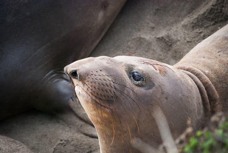 Joint d'éléphant du nord femelle photos libres de droits