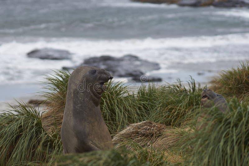 Joint d'éléphant du sud dans l'herbe de touffe - Falkland Islands image libre de droits
