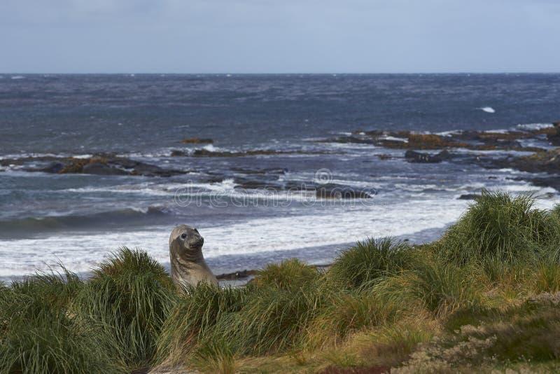 Joint d'éléphant du sud dans l'herbe de touffe - Falkland Islands images stock