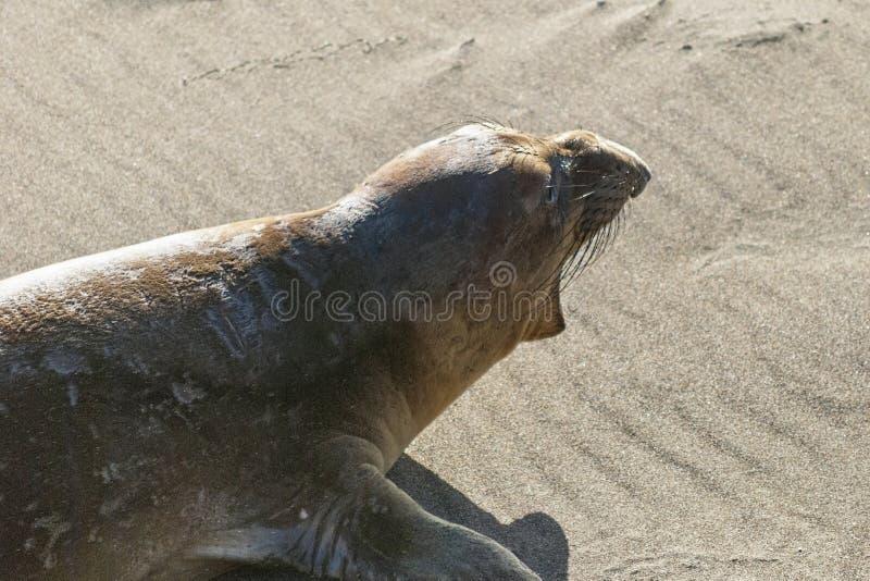 Joint d'éléphant masculin juvénile sur une plage de la Californie image libre de droits