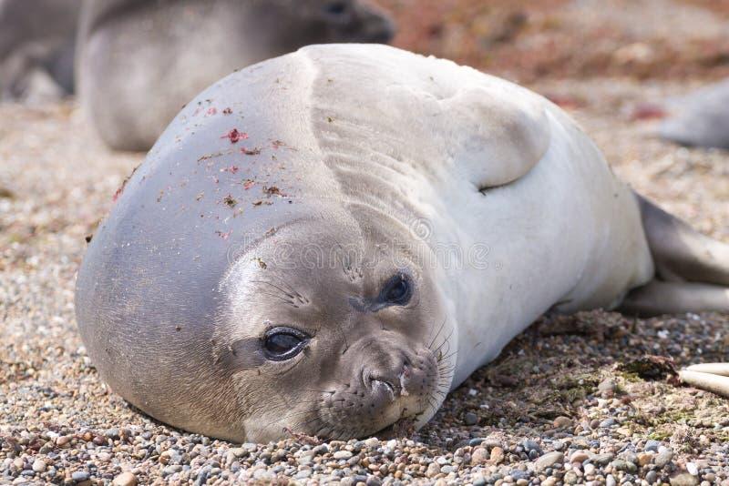 Joint d'?l?phant sur la fin de plage, Patagonia, Argentine photographie stock