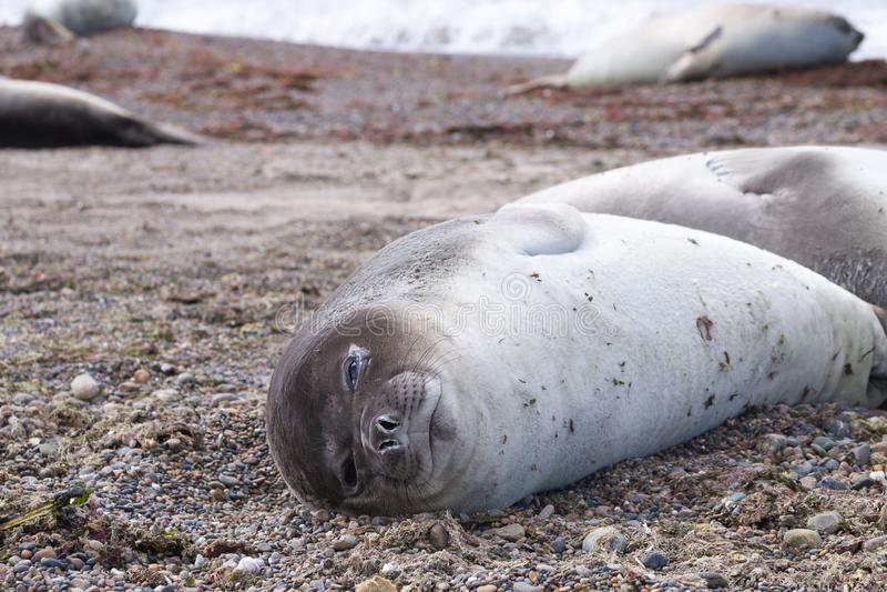 Joint d'?l?phant sur la fin de plage, Patagonia, Argentine images libres de droits