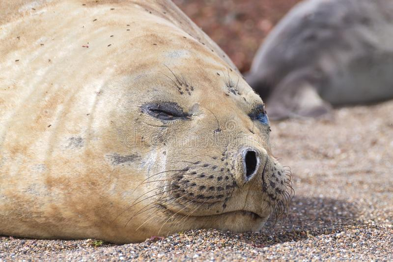 Joint d'?l?phant sur la fin de plage, Patagonia, Argentine photos libres de droits