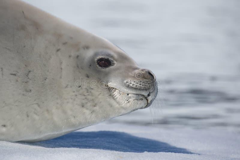 Joint de crabier sur l'écoulement de glace, Antarctique images libres de droits