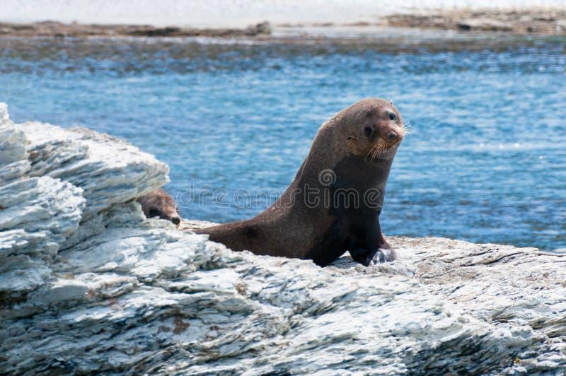 Joint de fourrure du Nouvelle-Zélande (kekeno) sur des roches à la colonie de joint de Kaikoura, image stock