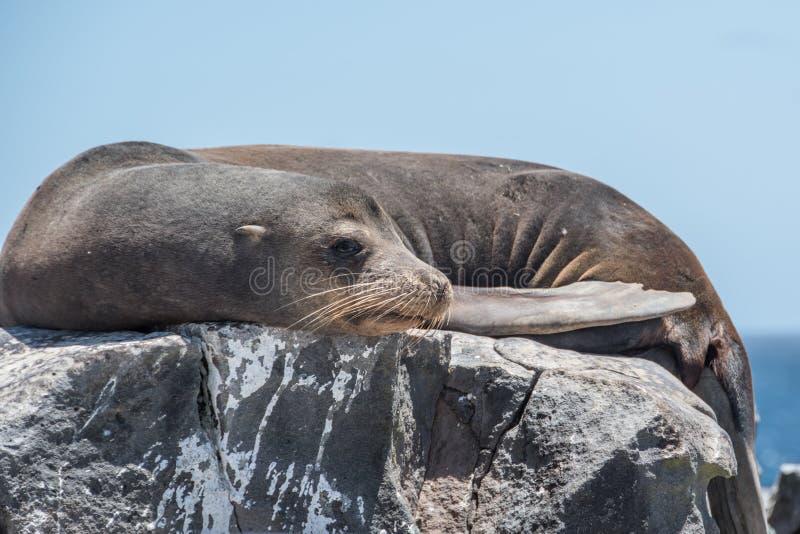 Joint de Galapagos détendant sur la roche image stock