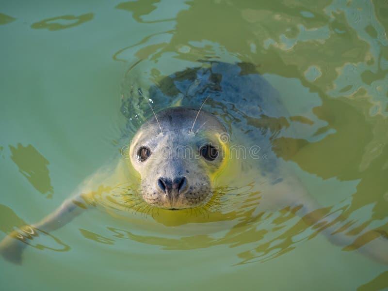 Joint de Yound dans l'eau regardant la caméra photographie stock