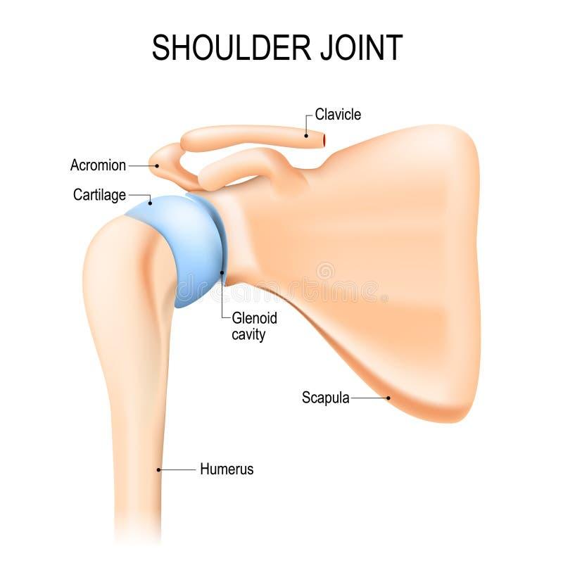 Joint glenohumeral d'épaule Anatomie humaine illustration stock