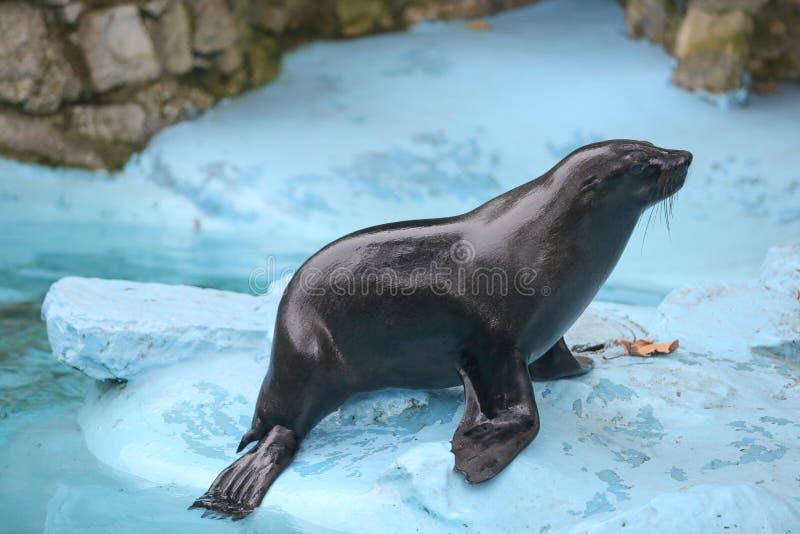 Joint humide se tenant à côté de l'eau dans le zoo images libres de droits