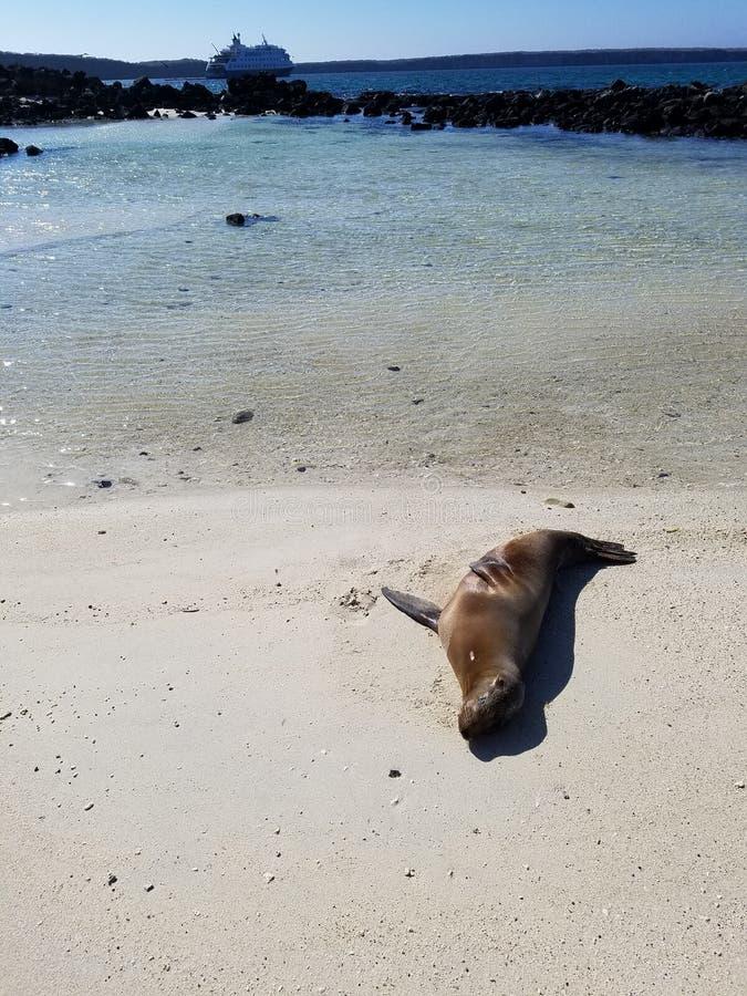 Joint sur la plage dans Galapagos image stock