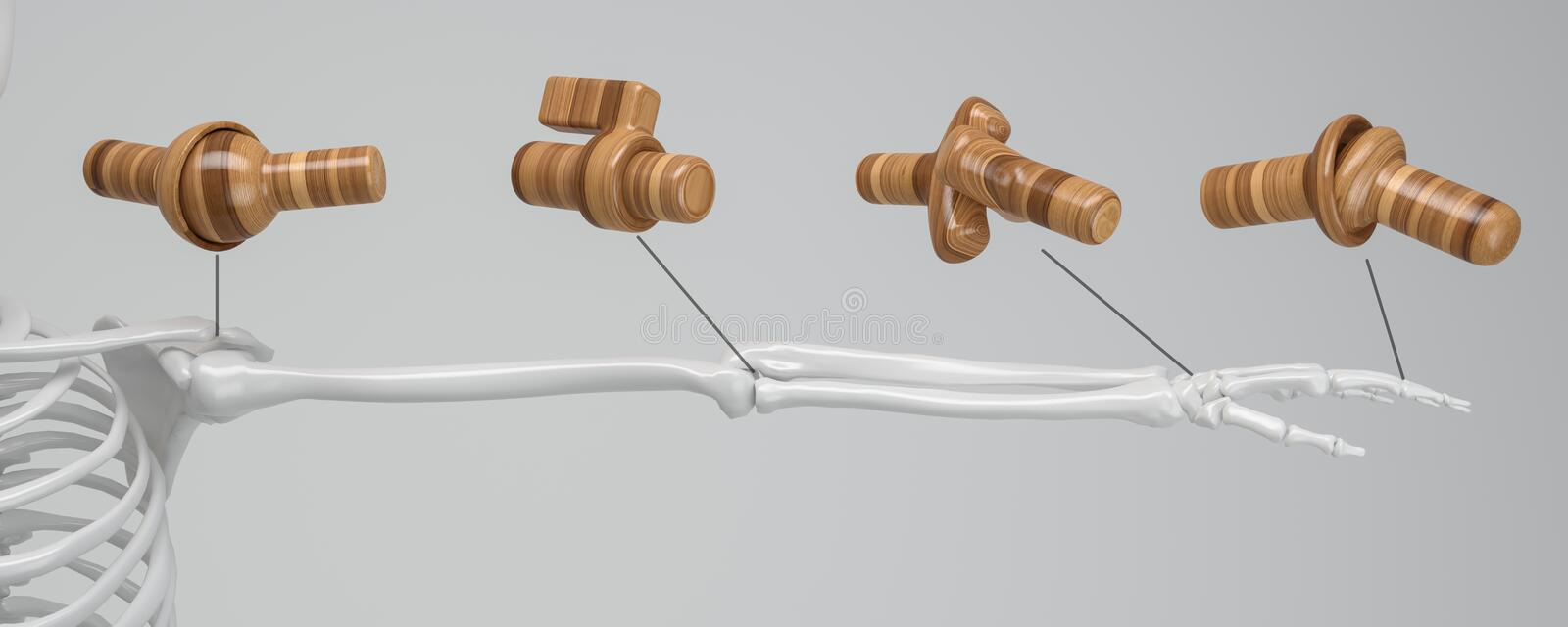 Joint types on the human skeleton - 3D Rendering royalty free illustration