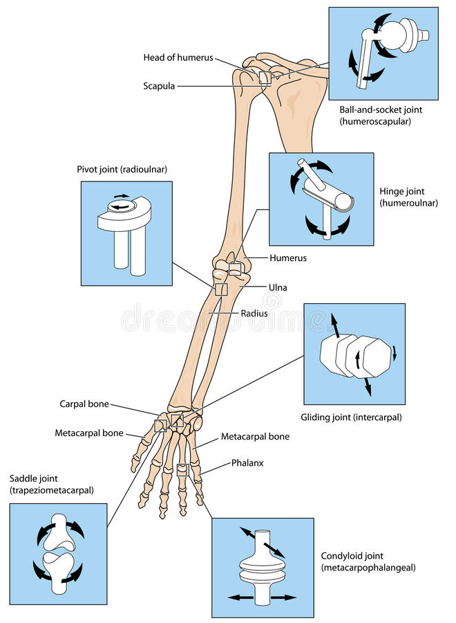 Joint types in the upper limb. Various types of joint, illustrated by the joints of the upper limb from the scapular to the fingers. Created in Adobe Illustrator stock illustration