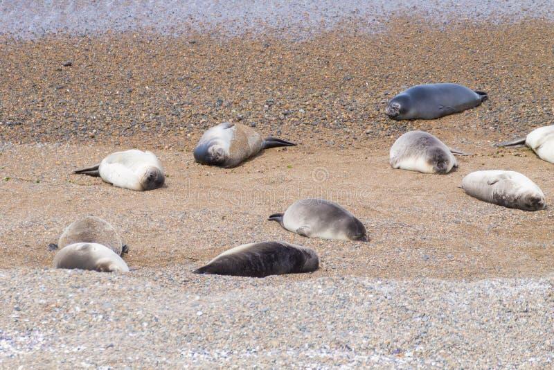 Joints d'?l?phant sur la plage de Caleta Valdes, Patagonia, Argentine photos stock