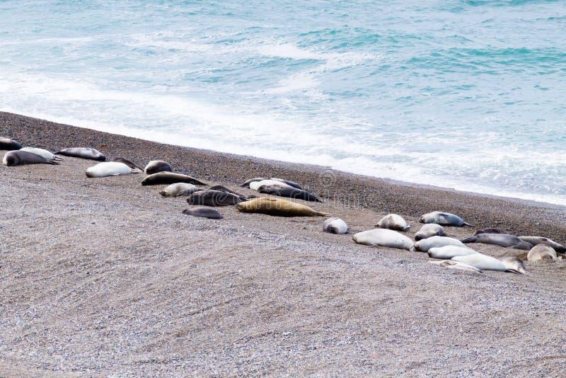 Joints d'?l?phant sur la plage de Caleta Valdes, Patagonia, Argentine image libre de droits