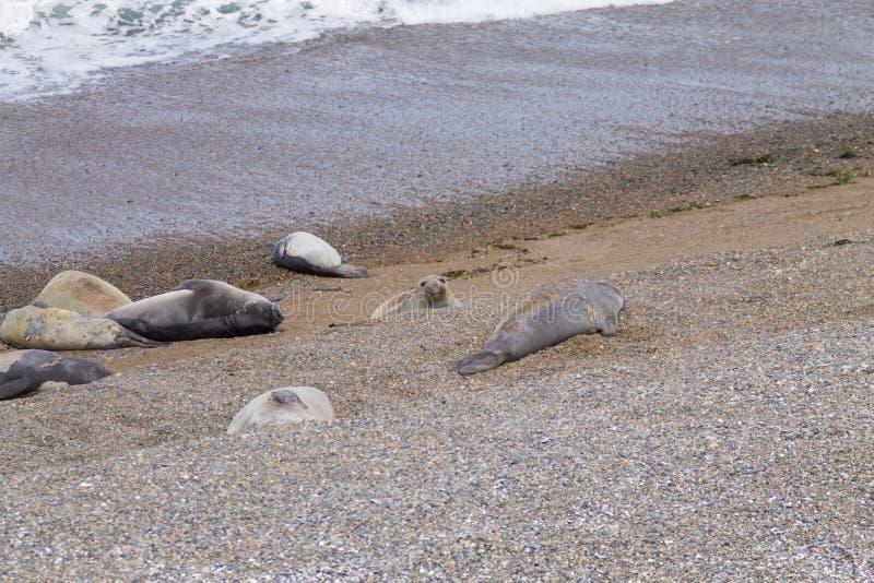 Joints d'?l?phant sur la plage de Caleta Valdes, Patagonia, Argentine photographie stock libre de droits