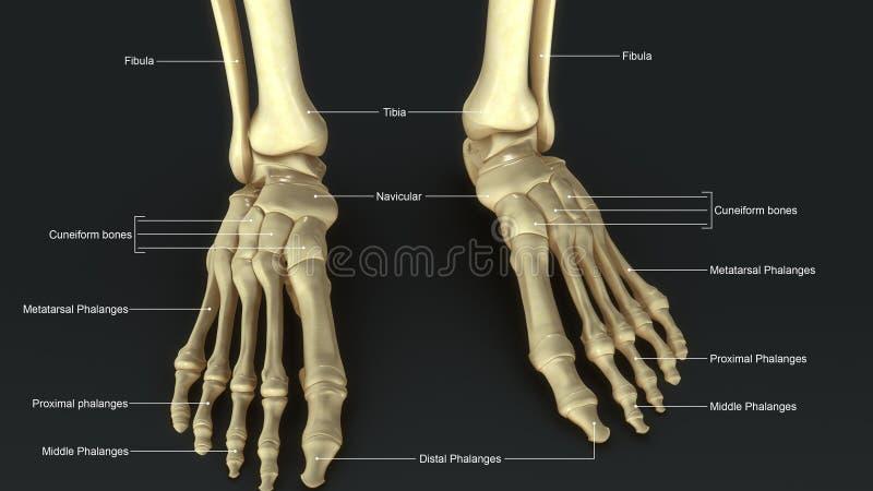Joints de pied illustration libre de droits
