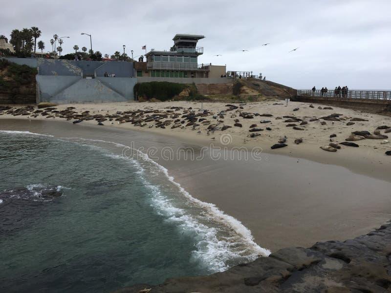 Joints de plage de joint de La Jolla photos libres de droits
