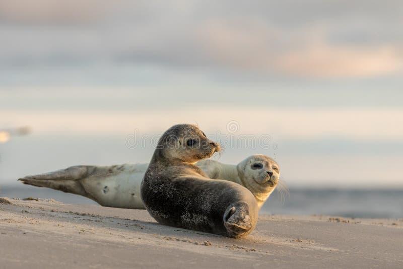 Joints de port, vitulina de Phoca, se reposant sur la plage Début de la matinée chez Grenen, Danemark images stock