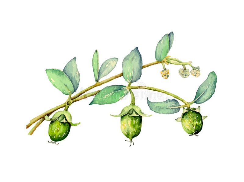 Jojoba stock illustration