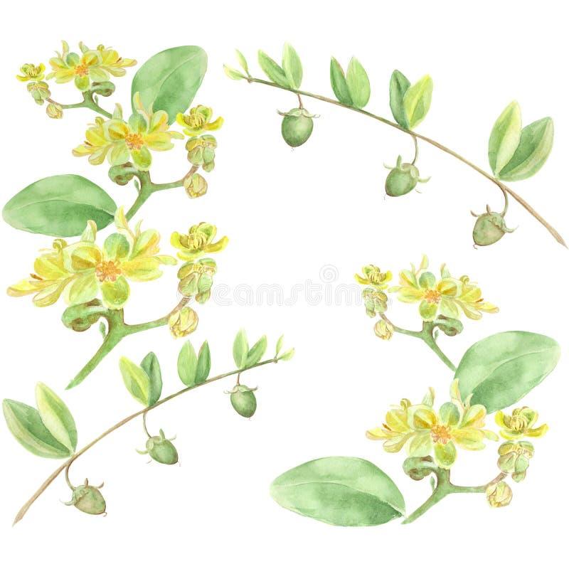 Jojoba - flores e frutos ilustração stock