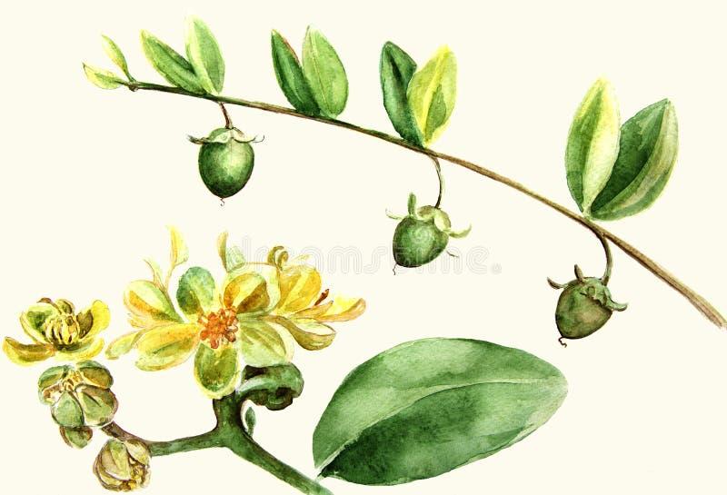 Jojoba - flores e frutos filiais Pintura da aguarela wallpaper ilustração royalty free