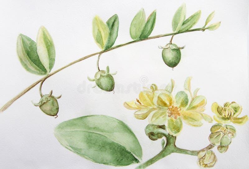 Jojoba - flores e frutos filiais Pintura da aguarela wallpaper ilustração do vetor