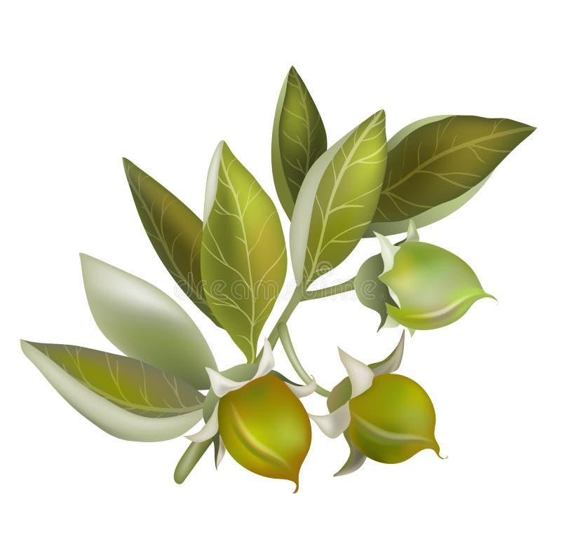 Jojoba fruit, element for organic cosmetics royalty free illustration