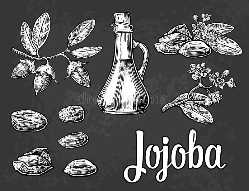 Jojoba fruit with glass jar. Hand drawn vector vintage engraved illustration. vector illustration