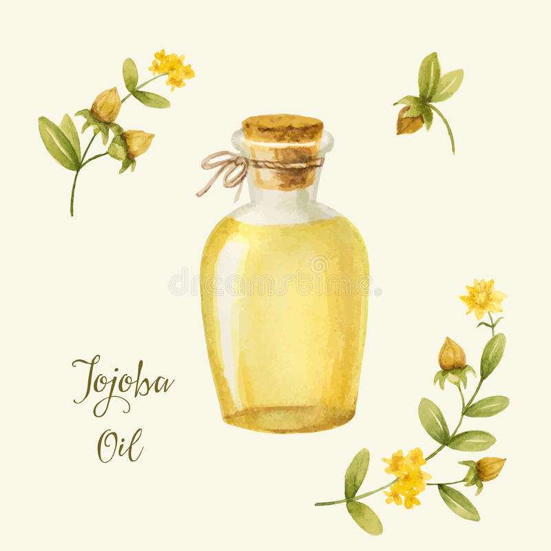 Jojoba royalty free illustration