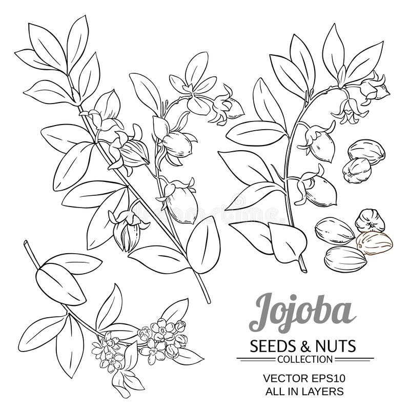 Jojoba plant vector vector illustration