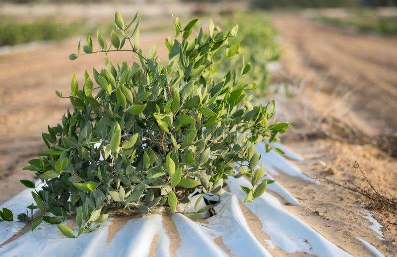 Jojoba roślina Jojoba krzaki r przy gospodarstwem rolnym w pustyni obrazy stock
