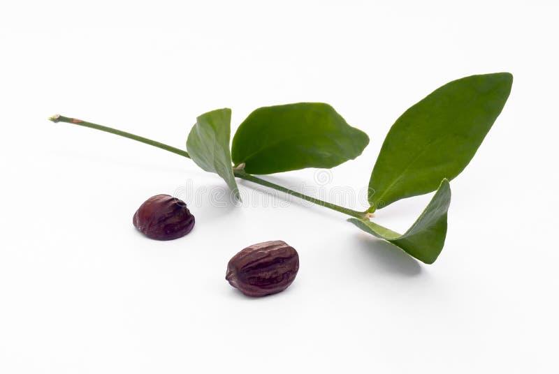Jojoba (Simmondsia chinensis) leaves and seeds stock photos