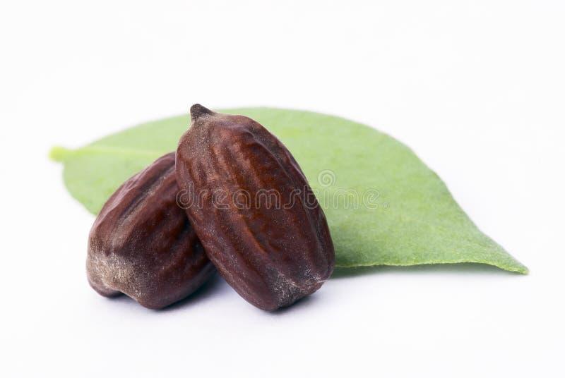 Jojoba (Simmondsia chinensis) leaves and seeds stock photo