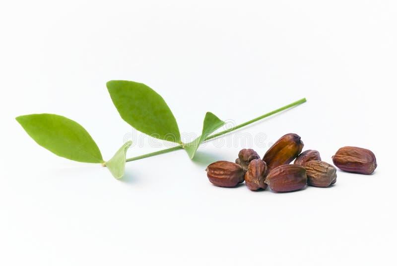 Jojoba Simmondsia chinensis leaves and seeds stock image