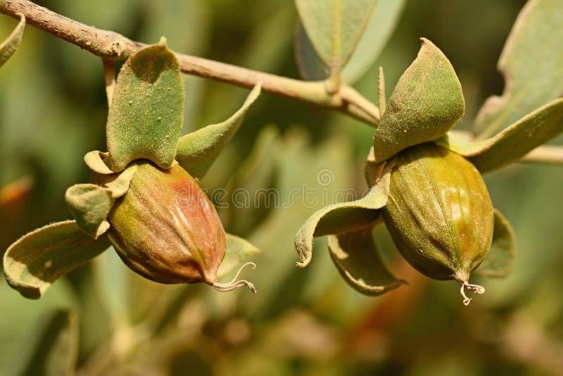 Jojoba ziarna na drzewie fotografia stock