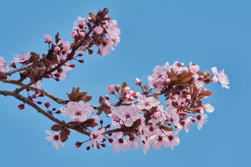 Joli arbre d'amande avec les fleurs roses en février photo libre de droits