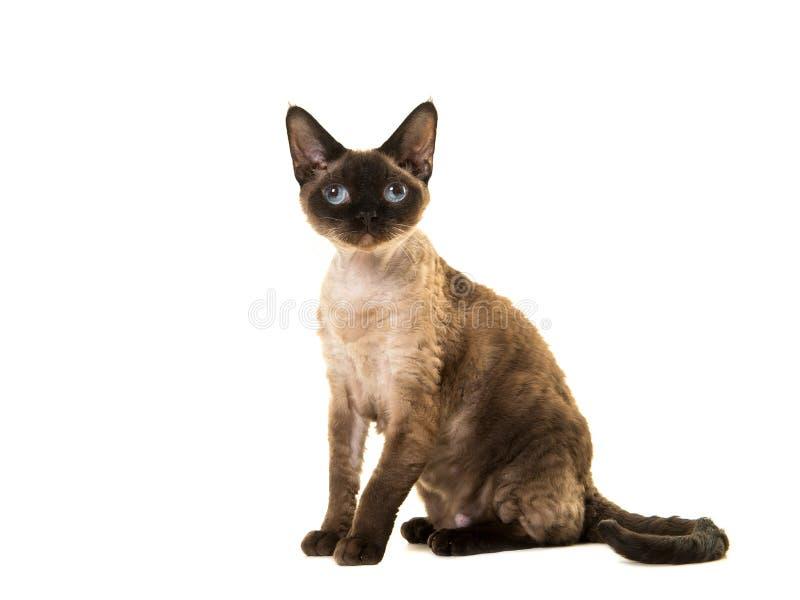 Joli chat se reposant de rex du Devon de point de joint avec des yeux bleus recherchant vus du côté image libre de droits