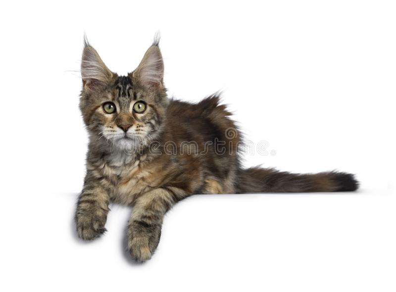 Joli chaton de Maine Coon de tortie sur le blanc images stock