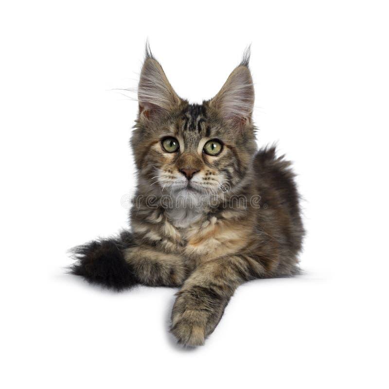 Joli chaton de Maine Coon de tortie sur le blanc photos libres de droits