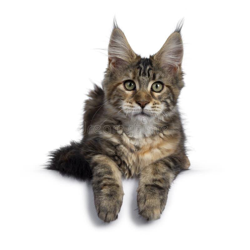 Joli chaton de Maine Coon de tortie sur le blanc images libres de droits