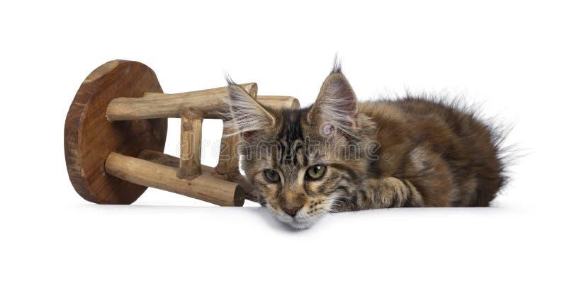 Joli chaton de Maine Coon de tortie sur le blanc photographie stock